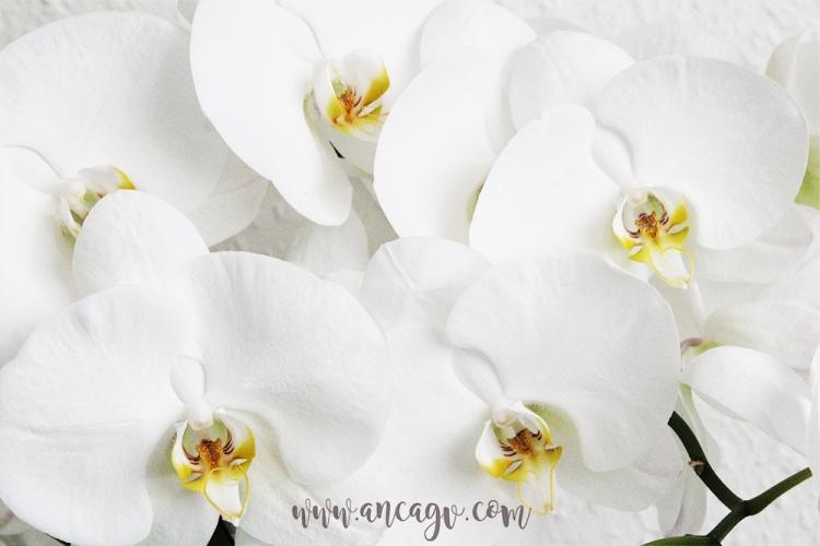 orhidee11