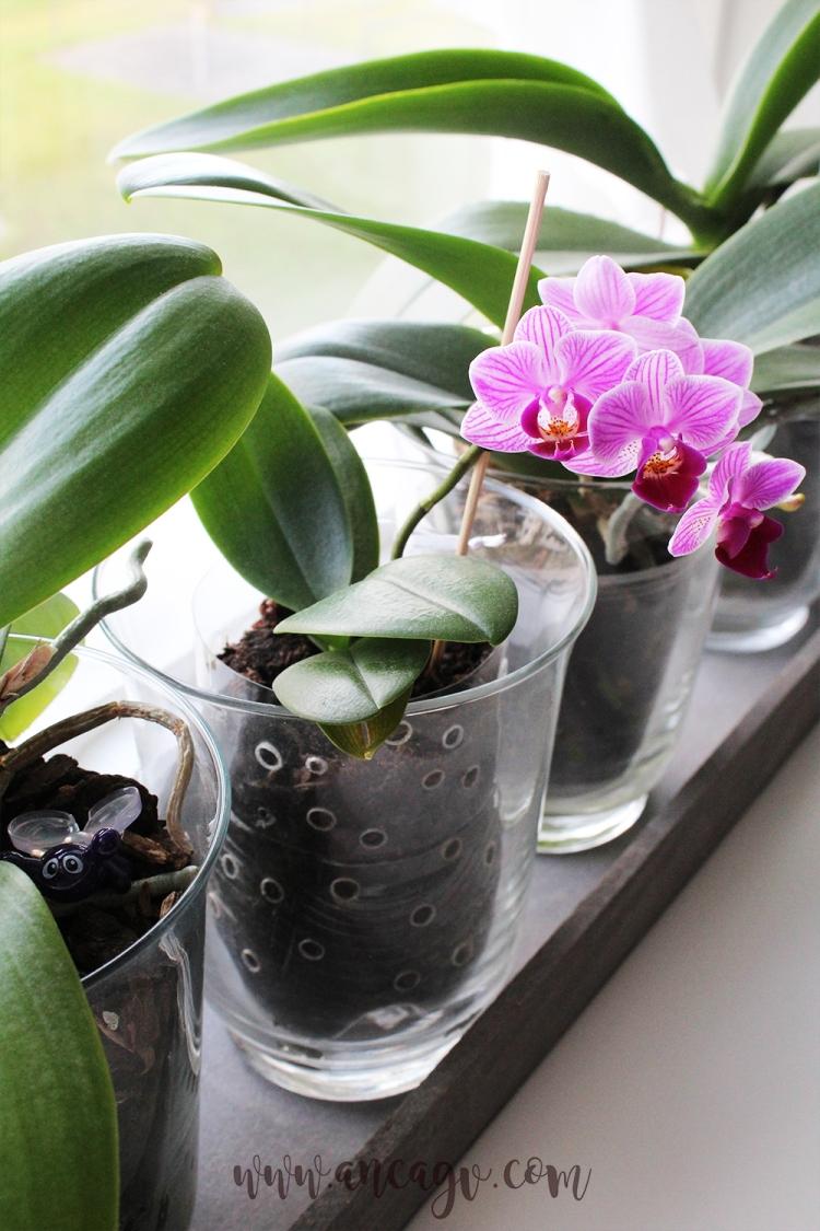 orhidee6